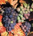 Storia del Vino