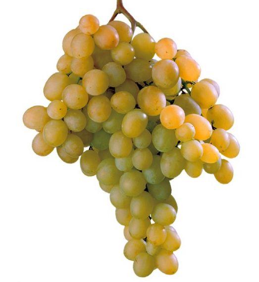 Uva da tavola di canicatt igp - Vivai rauscedo uva da tavola ...