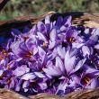 Zafferano di Sardegna – su tanfaranu
