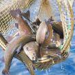 Gastrosofia pesce di allevamento risorsa o problema?