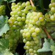 Storia Albanello il vitigno scomparso